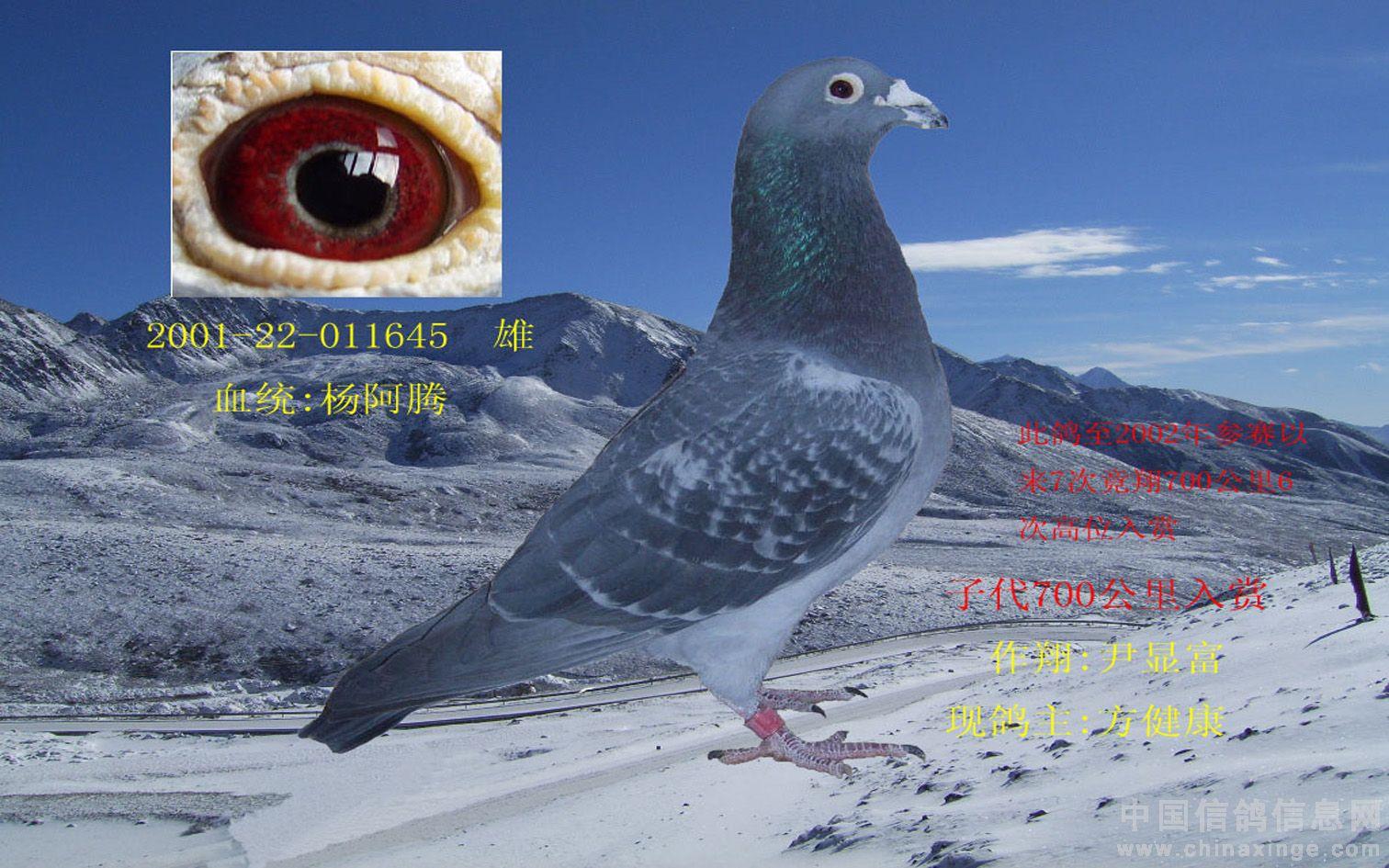 杨阿腾/那么杨阿腾到底配什么样的鸽子才能更好的发挥作用呢...