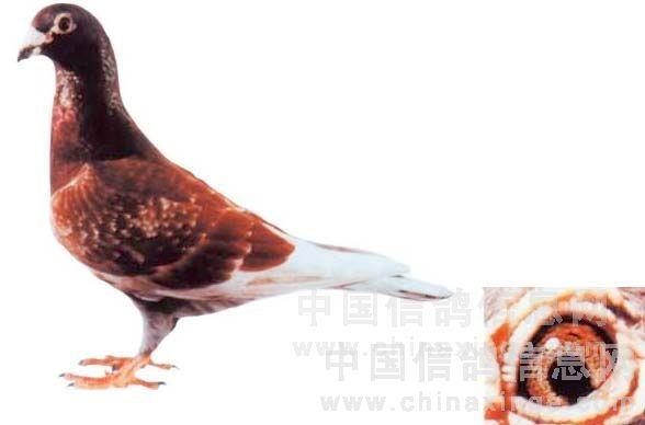 名鸽 81红狐图片