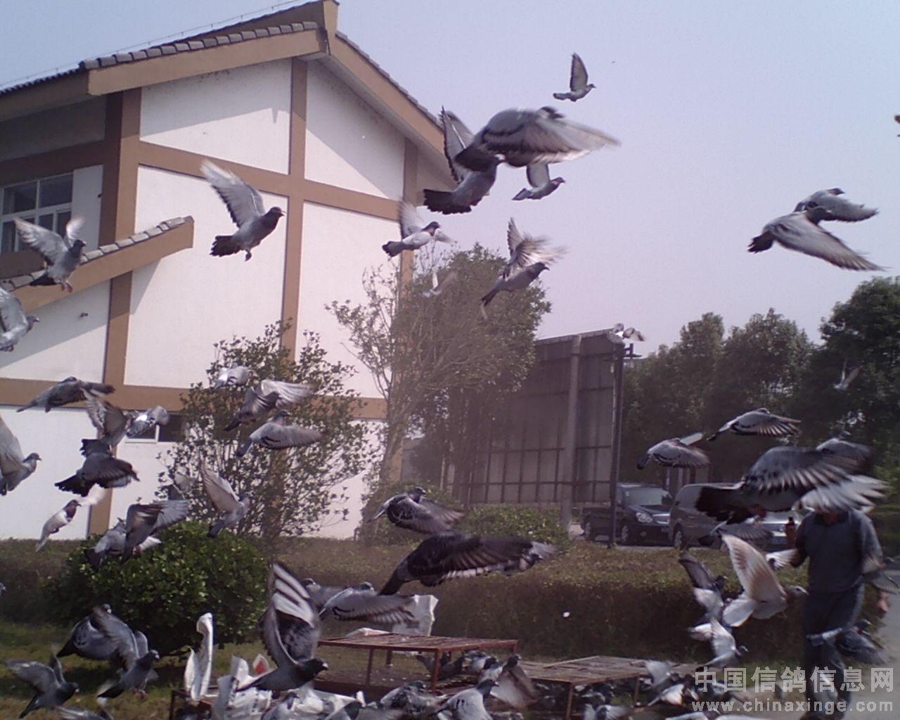 海安/祝贺海安信鸽协会2009 年秋幼鸽特比环圆满成功