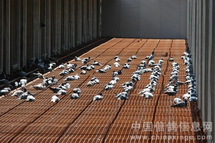 三营信鸽协会_涿州市信鸽协会300公里验棚照片团体成绩指