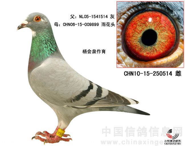 拍卖种鸽图片及血统书图片