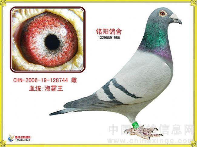 会员种鸽赛鸽图片欣赏