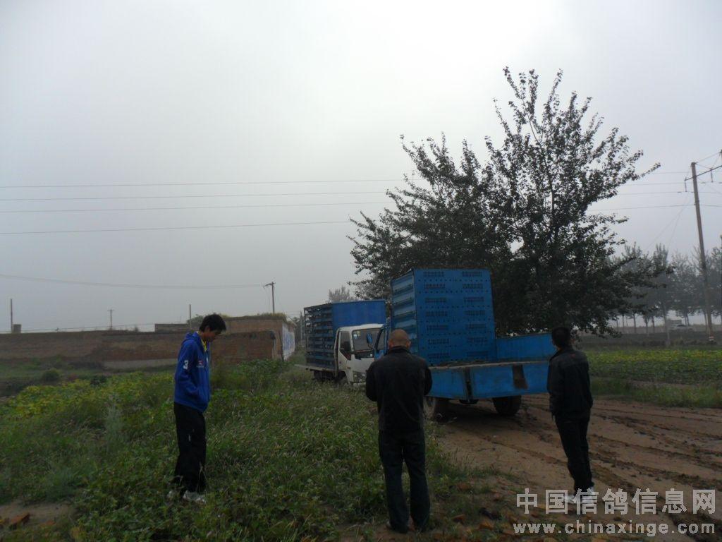 赵县信鸽协会30公里训放9 30分开笼及图片