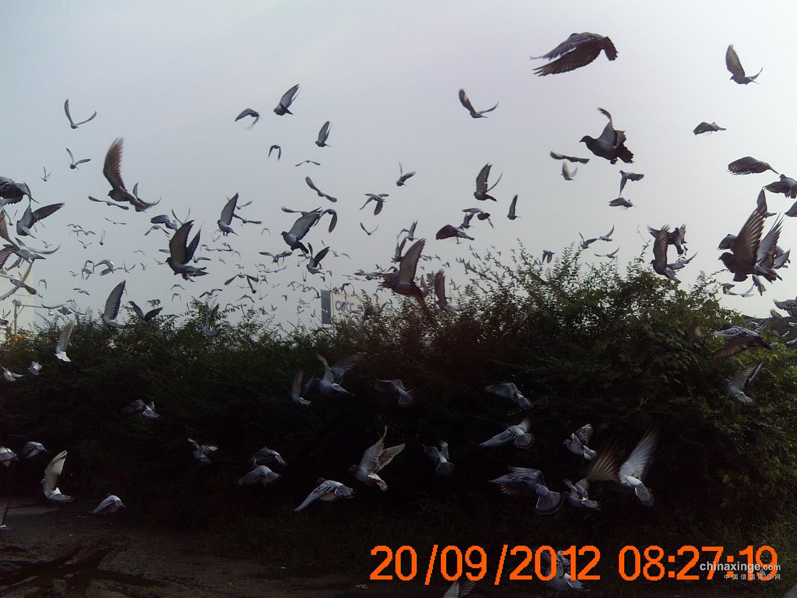 南和鸽会100公里训放安阳站照片
