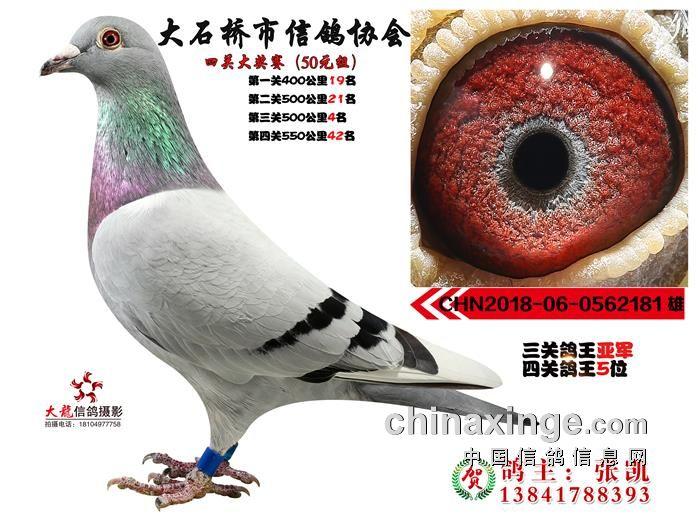 2018秋季四关鸽王照片