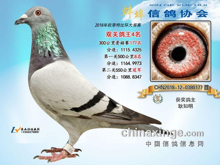 """蚌埠信鸽协会2018年秋特比环""""双关鸽王""""拍卖鸽靓照展示"""